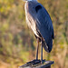 Heron on bird house