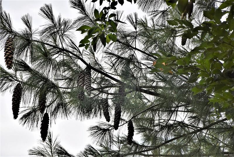 Pine Tree Cones 09.p07 (2)