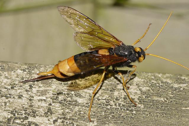 Horntail Sawfly —, Nikon D610, AF Zoom-Nikkor 35-70mm f/3.3-4.5 N