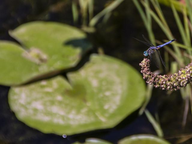 dragonflyblue2