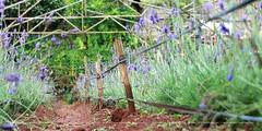 Violet daisy garden