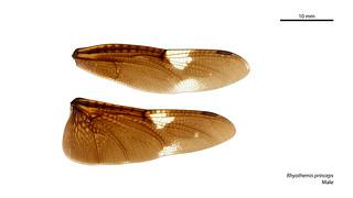 Rhyothemis princeps male wings