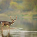 The stag at the stream by hvhe1