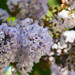 Smooth Lilacs