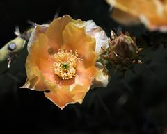 Cactus flowers_DSC8976-edit