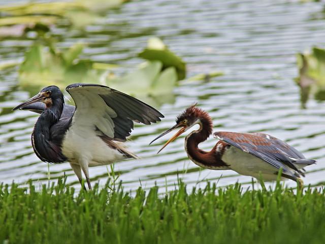 Tricolored Heron demands feeding 08-20170612