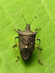 Elegant Stink Bug