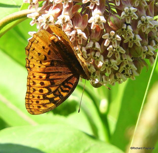 Great Spangled Fritillary_N6887