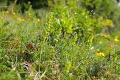 HolderMusk Orchids. herminium monorchis..