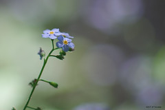 Brin de myosotis - Photo of Proupiary