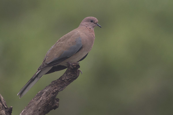 Red Collared Dove