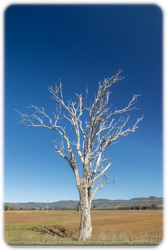 White Tree - Near Mudgee