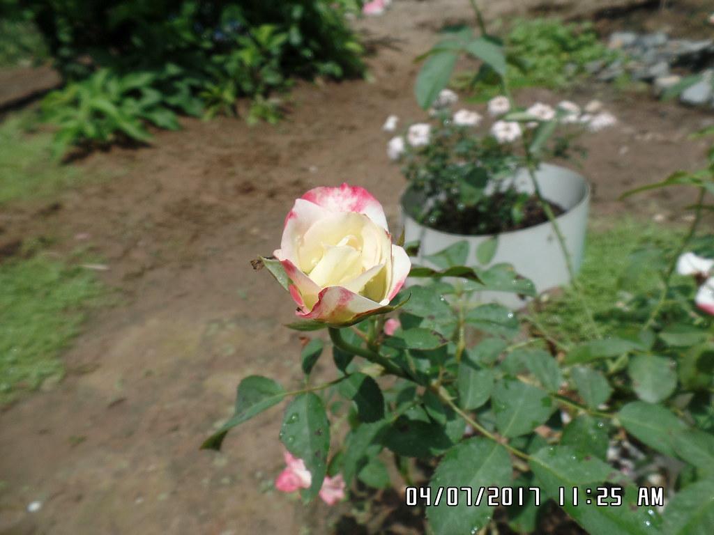 hong ngoai cherry parfait rose (3)