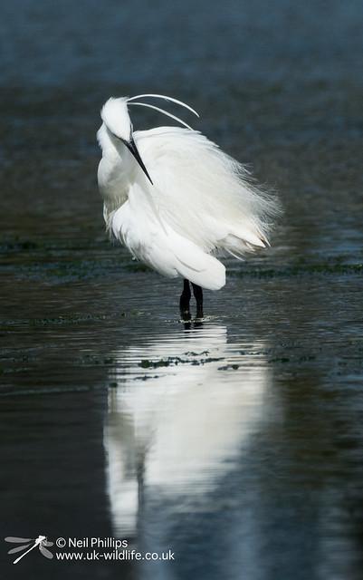 Little egret in West Looe River-10