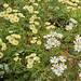 Argyranthemum callichrysum; Asteraceae (1)