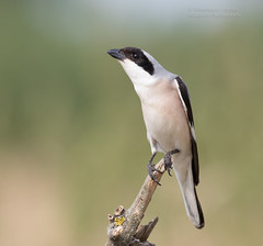 Lesser Grey Shrike - Lanius minor