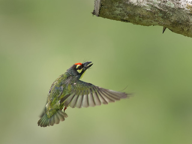 Coppersmith Barbet _ PRP ☺