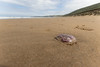 Jellyfish, Putsborough