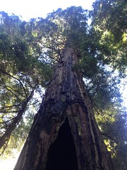 Redwood National Park. Coastal redwood. damage from fire estimated to have occurred 80 to 100 years ago. The rest of it..
