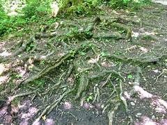 Entrelacs de racines