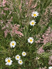 168/365: Daisies in the Grass