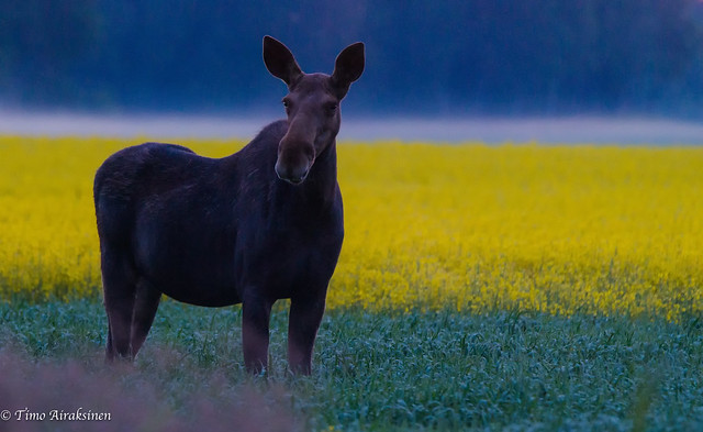 Mother Moose on the, Sony SLT-A99V, Sony 70-400mm F4-5.6 G SSM II (SAL70400G2)