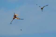 Marsh Harriers - In flight dining