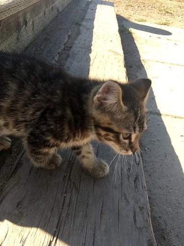 Stripey Cat the kitten at the farm