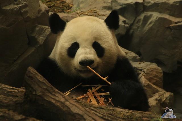 Panda Meng Meng und Jiao Qing im Berliner Zoo 016