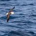 Small photo of Albatros