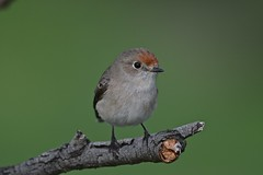 Red - capped Robin ( Female )