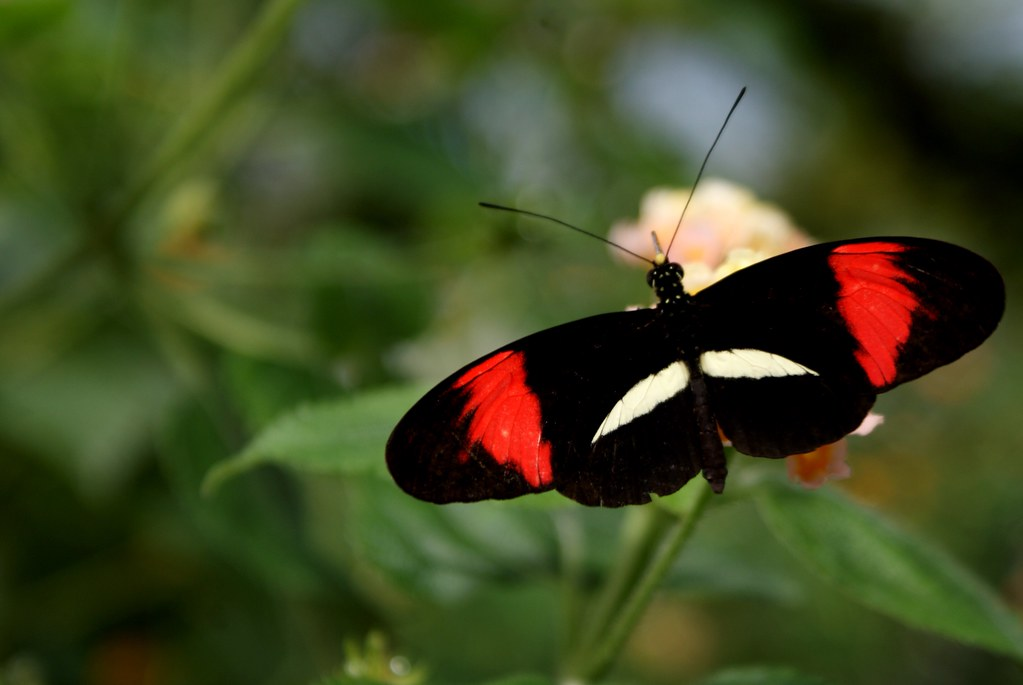 Dans la fermes aux papillons du jardin botanique de Riga en Lettonie.