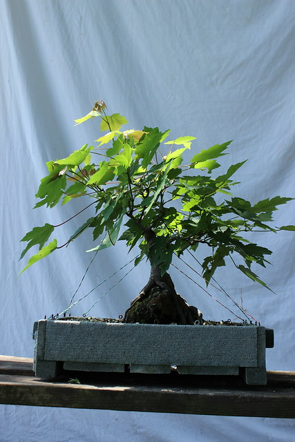 8 Red Maple (Acer rubrum) (root over rock)