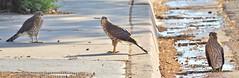 Three Cooper's Hawk fledglings in our neighborhood