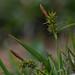 Yellow Sedge - Carex demissa