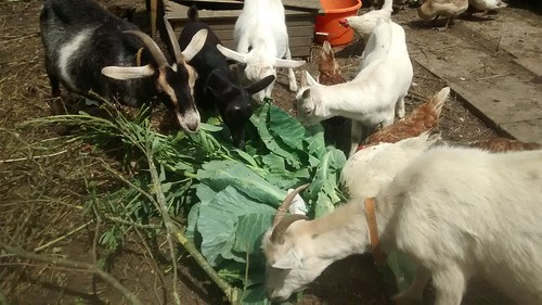 cabbages for the goats July 17 1