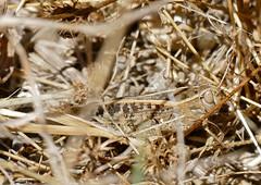 Pincer Grasshopper (Calliptamus sp.)