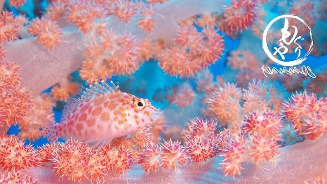 画になるとこに居てくれたヒメゴンベ幼魚ちゃん♪