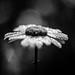 20170622 Daisy 58.jpg by lkaldeway