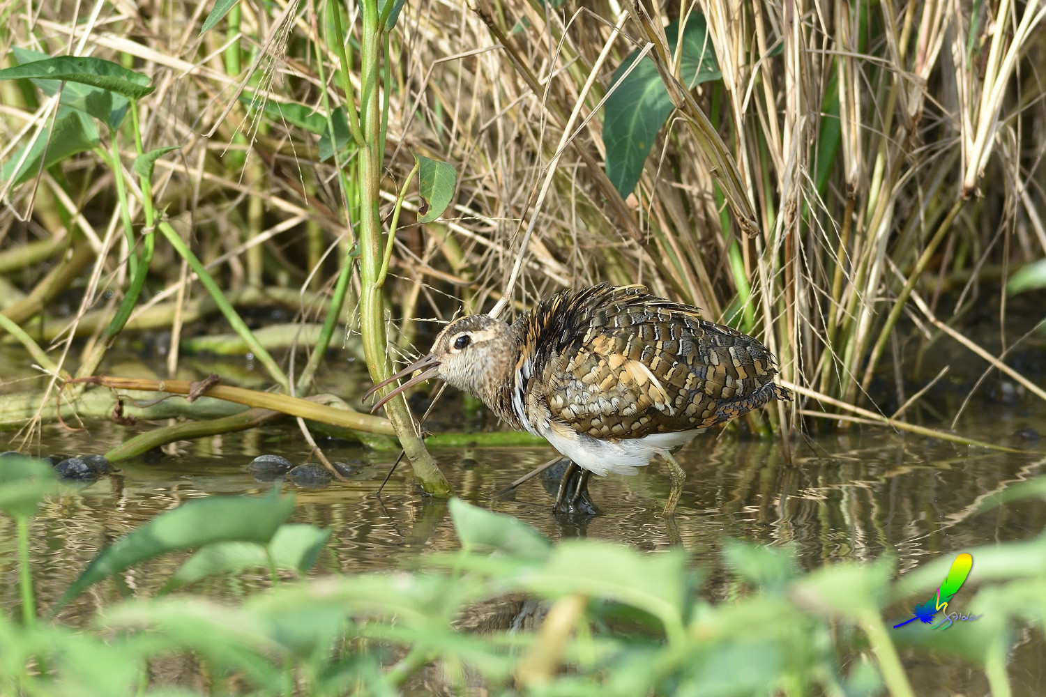 Painted_Snipe_1692
