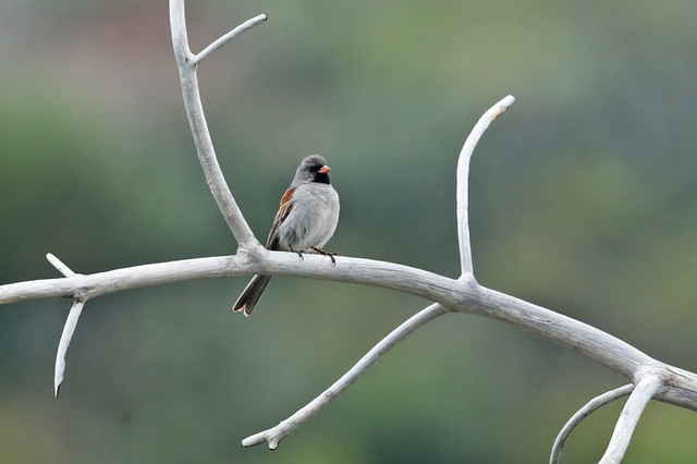 Black-chinned Sparrow, Canon EOS 5D MARK III, Canon EF 500mm f/4L IS II USM