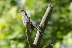 Moqueur chat / Gray catbird