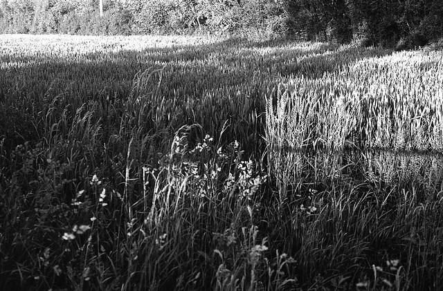 Grain Field and Shadows P30 Ferrania HC110