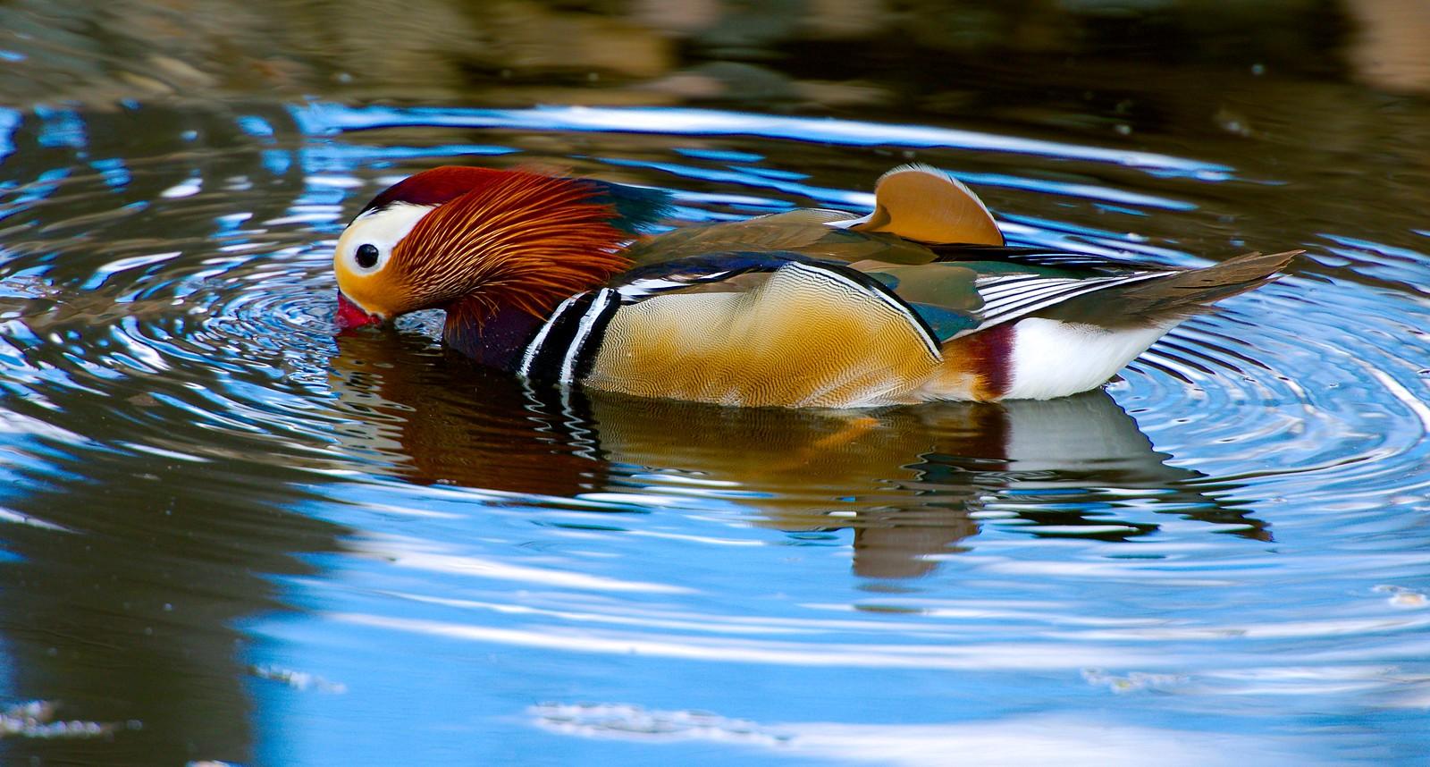 Duck_11