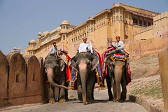 Trio of elephants with mahouts at Amber Fort, Jaipur India