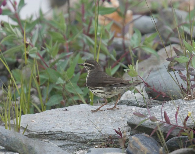 Northern Waterthrush 1, Canon EOS 7D MARK II, Canon EF 400mm f/4 DO IS