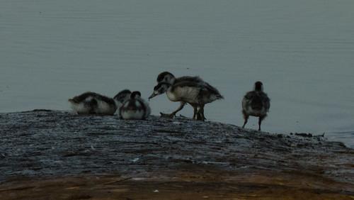 Shelduck and ducklings