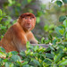 Proboscis Monkey (Jackie Lover)