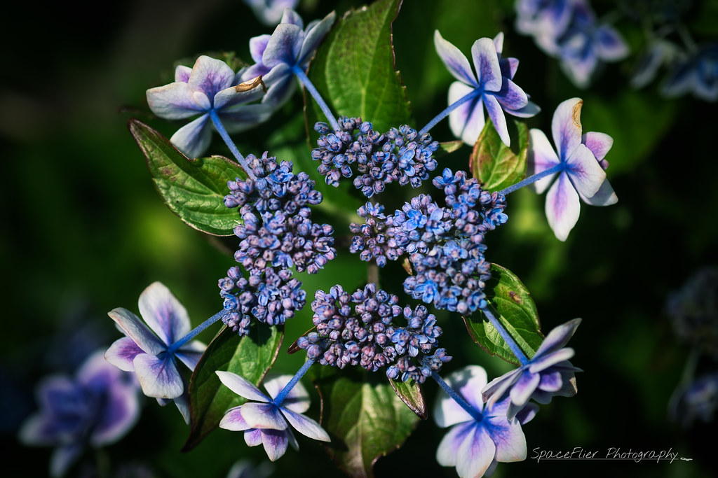 A World of HYDRANGEAS