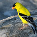 Male Goldfinch by NaturalLight